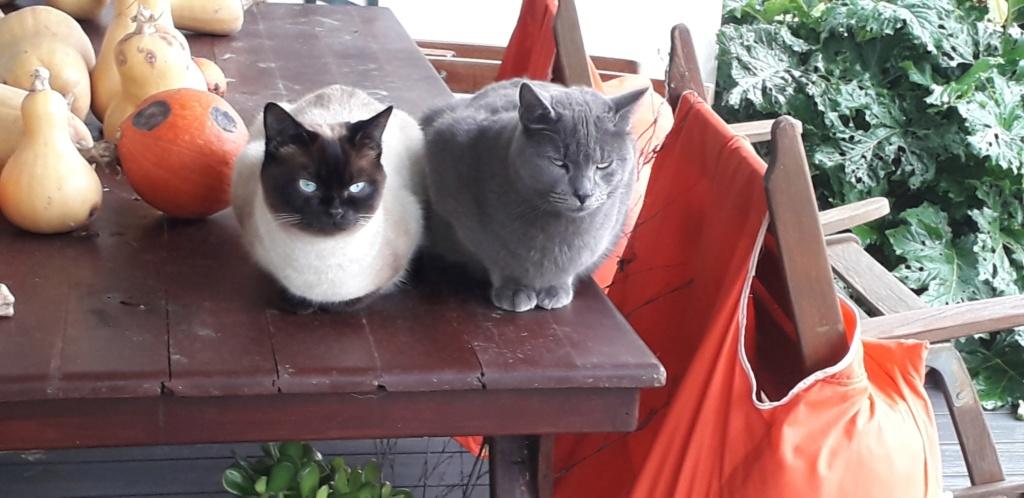 nieko - Nieko chaton mâle de couleur gris né le 1er/ 07/2017 57504110