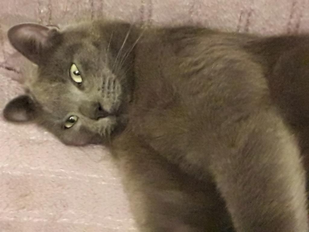 nieko - Nieko chaton mâle de couleur gris né le 1er/ 07/2017 58612810