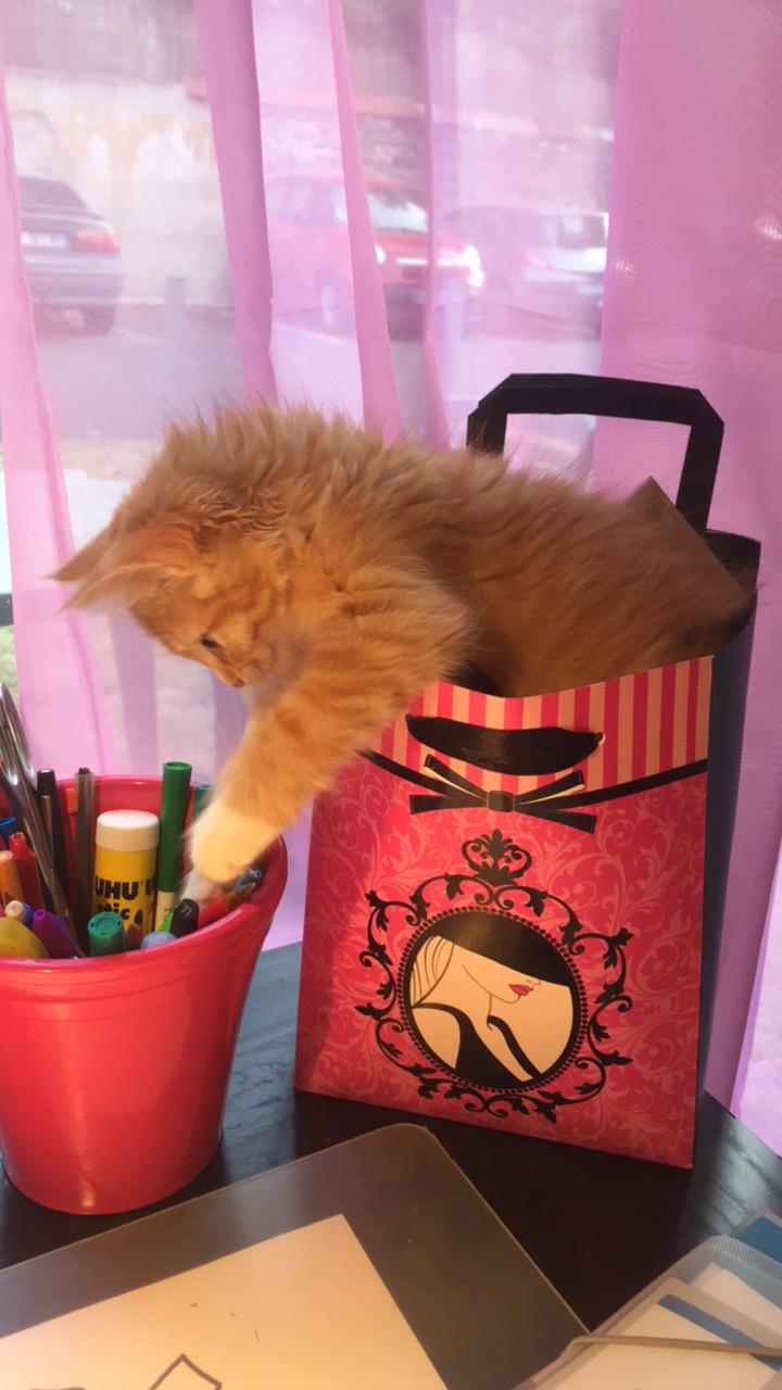 Ohio, chaton mâle roux tigré, né le 1/07/2018 Img_0611