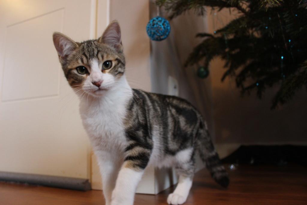 Oz , chaton mâle de type européen tabby et blanc, né le 18/08/2018 Img_0614
