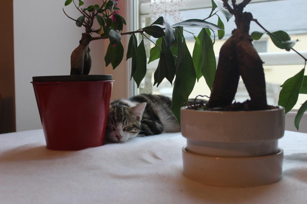 Oz , chaton mâle de type européen tabby et blanc, né le 18/08/2018 Img_0615