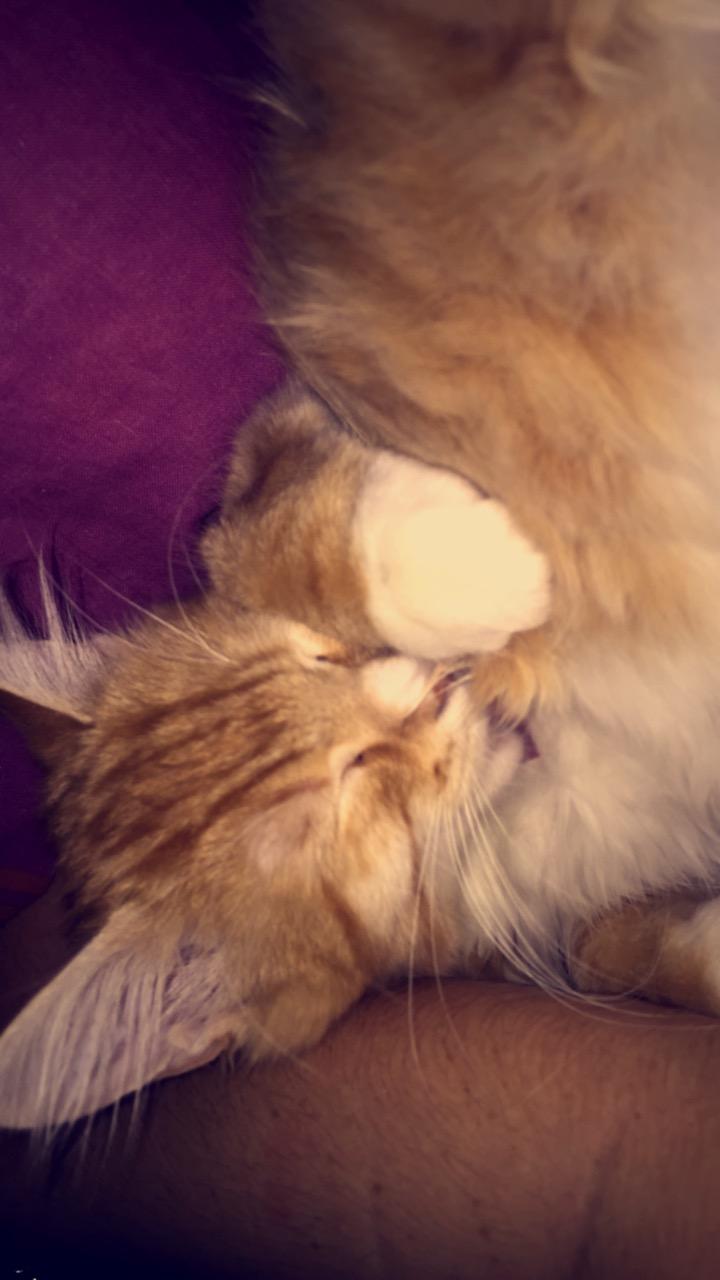 Ohio, chaton mâle roux tigré, né le 1/07/2018 Img_0712