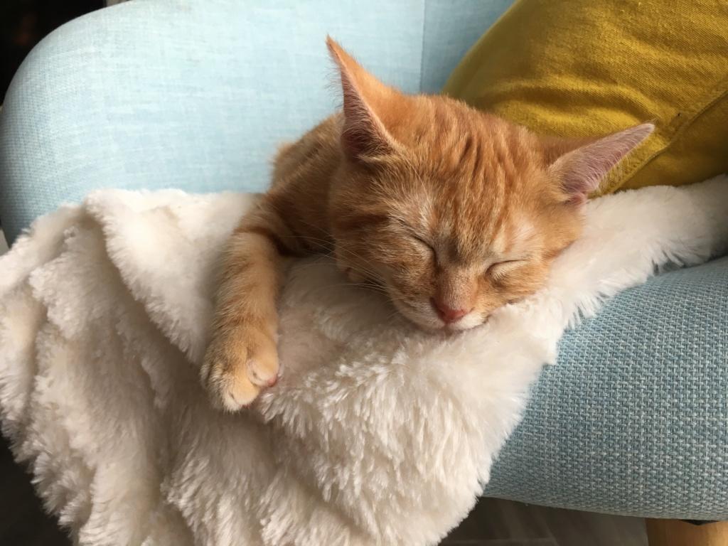 Ornicar chaton roux tigré né le 21/08/2018 Img_1711
