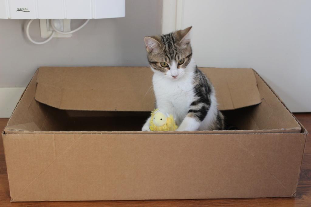 Oz , chaton mâle de type européen tabby et blanc, né le 18/08/2018 Img_1814