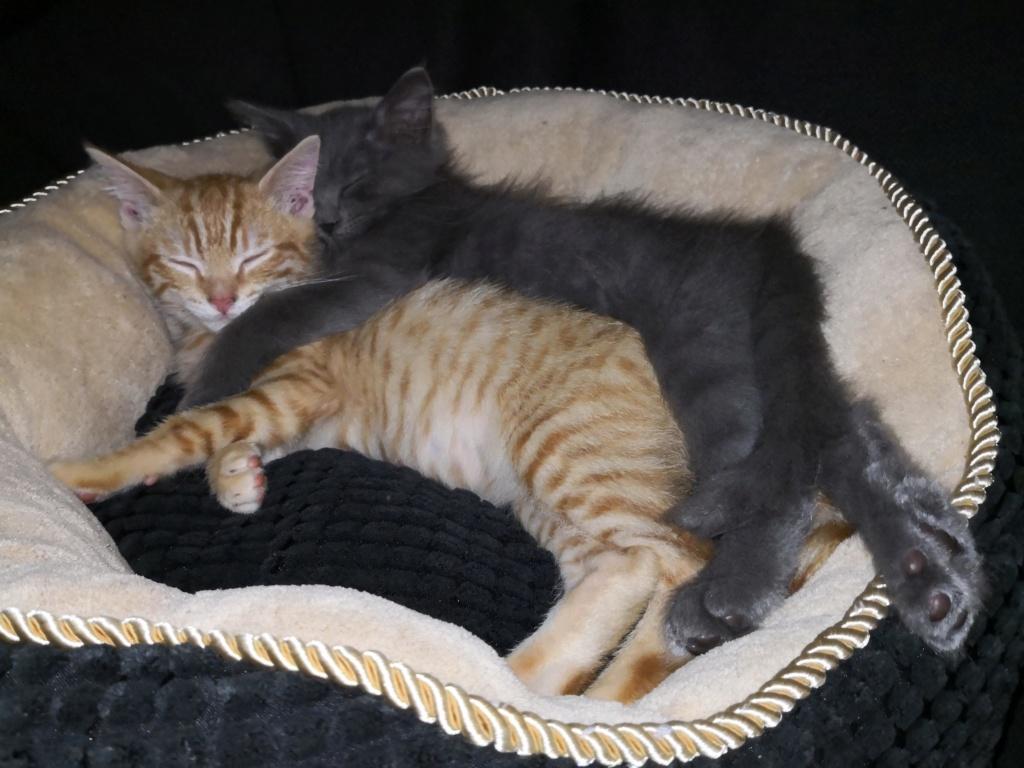 Okey, chaton chat de maison roux tabby, né le 01/06/18 Img_2034
