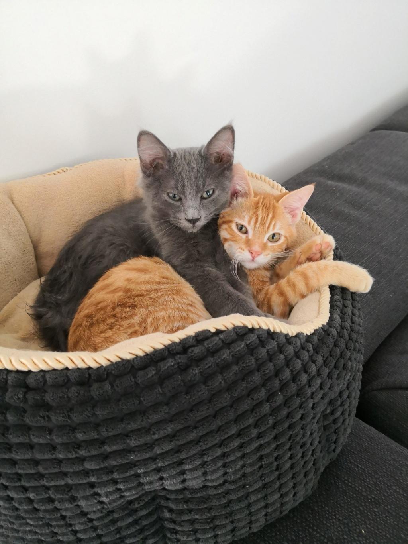 Okey, chaton chat de maison roux tabby, né le 01/06/18 Img_2035