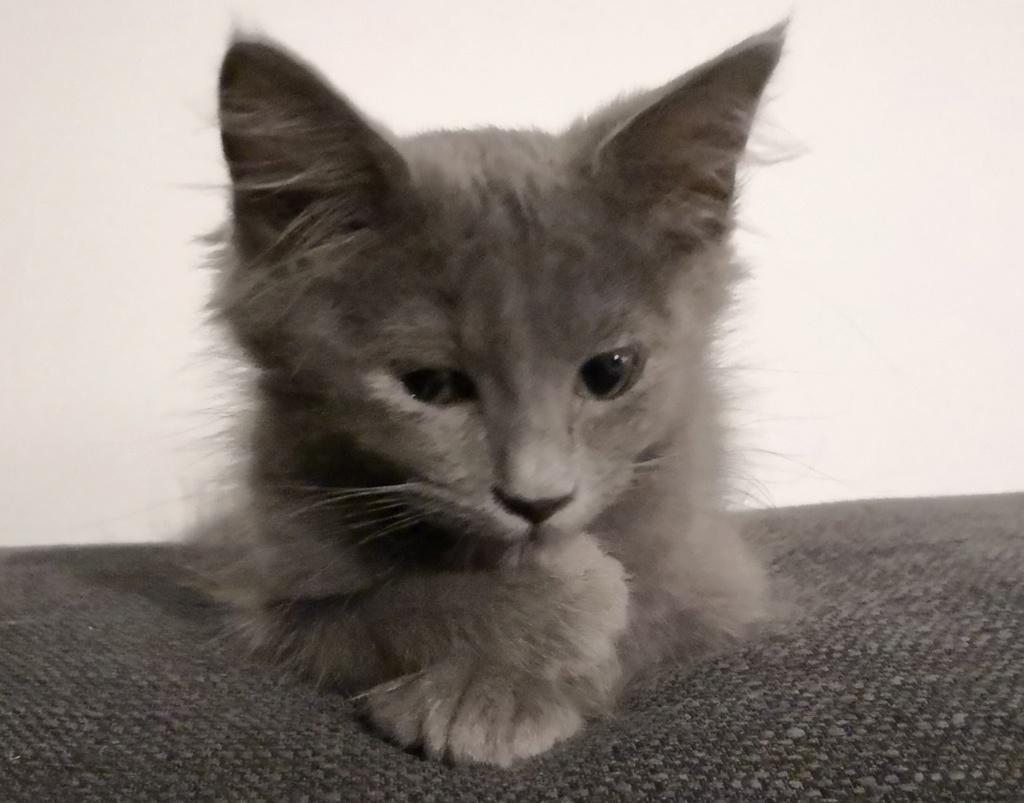 Okey, chaton chat de maison roux tabby, né le 01/06/18 Img_2036