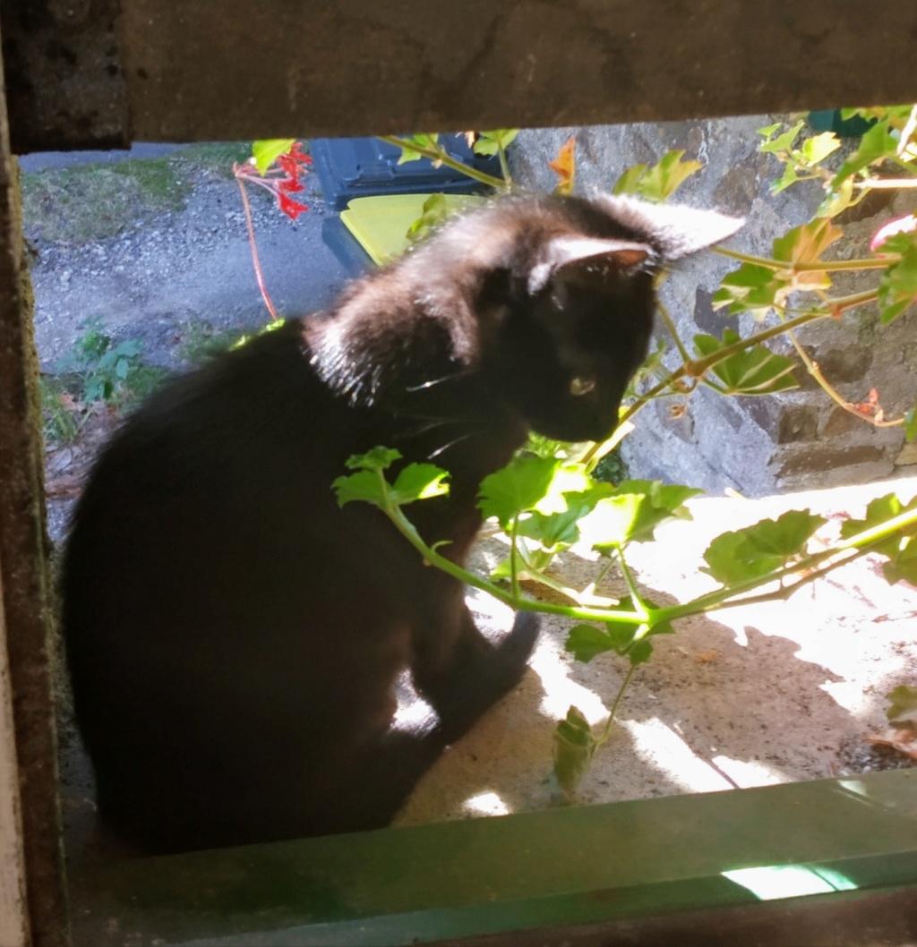 OSAKA - femelle type européen noire - née le 01/07/2018 Img_2057