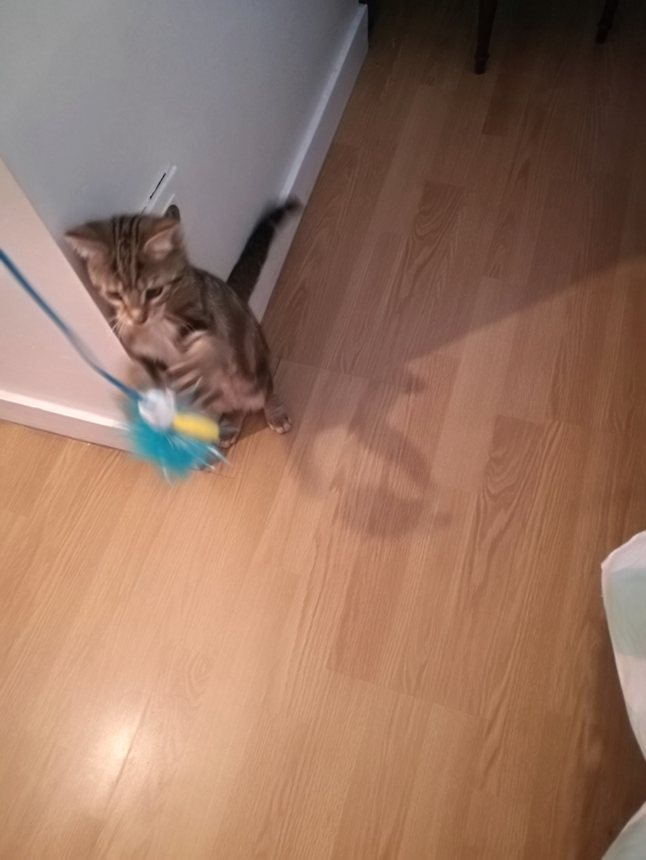 Ombre, chaton de type européen tigrée, née le 18/08/2018 Img_2076