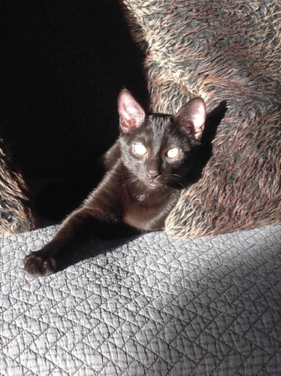 ORIZON, chaton noir, est né le 11 juin 2018 Img_2911
