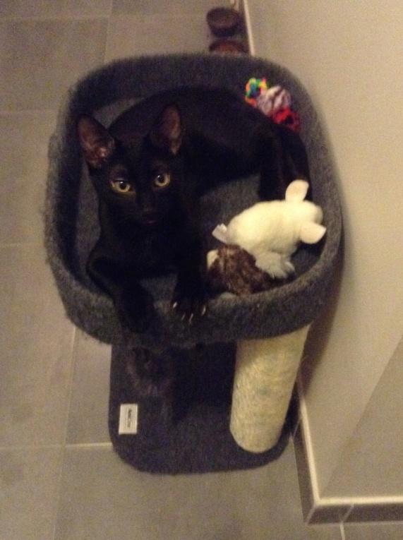 ORIZON, chaton noir, est né le 11 juin 2018 Img_3011