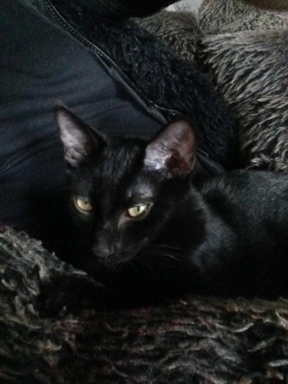 ORIZON, chaton noir, est né le 11 juin 2018 Img_3012