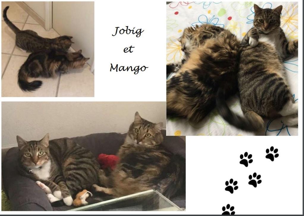 jobig - JOBIG, chat européen gris tabby blanc, né en 2014 Job210