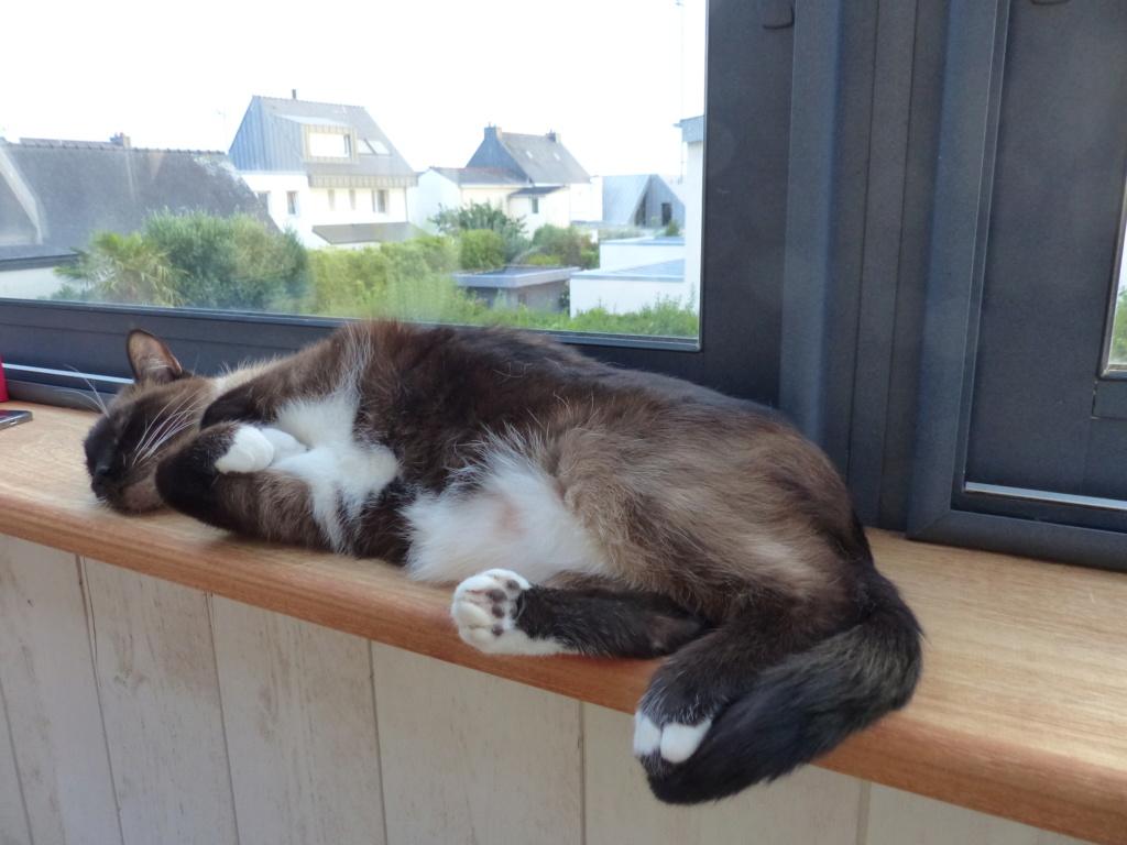 FLORETTE, chat de maison couleur chocolat,  née le 19 avril 2010. P1010010