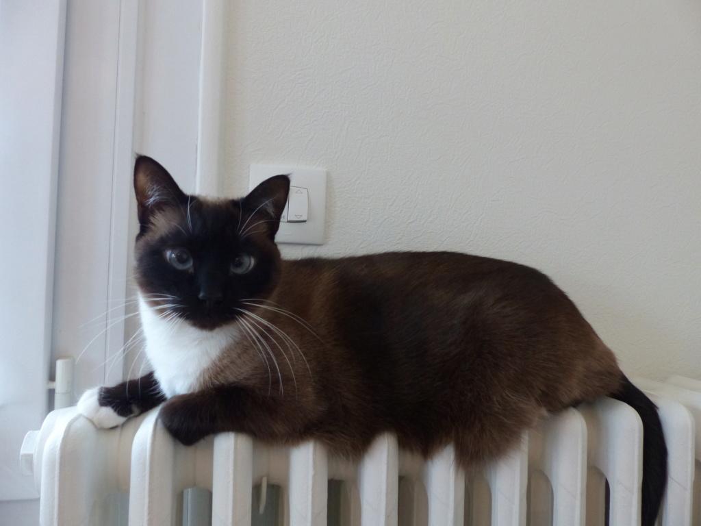 FLORETTE, chat de maison couleur chocolat,  née le 19 avril 2010. P1010310