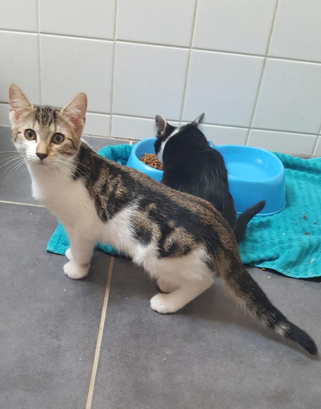 Paolo, chaton mâle de type européen, tricolore, né le 01/04/2019 Resize25