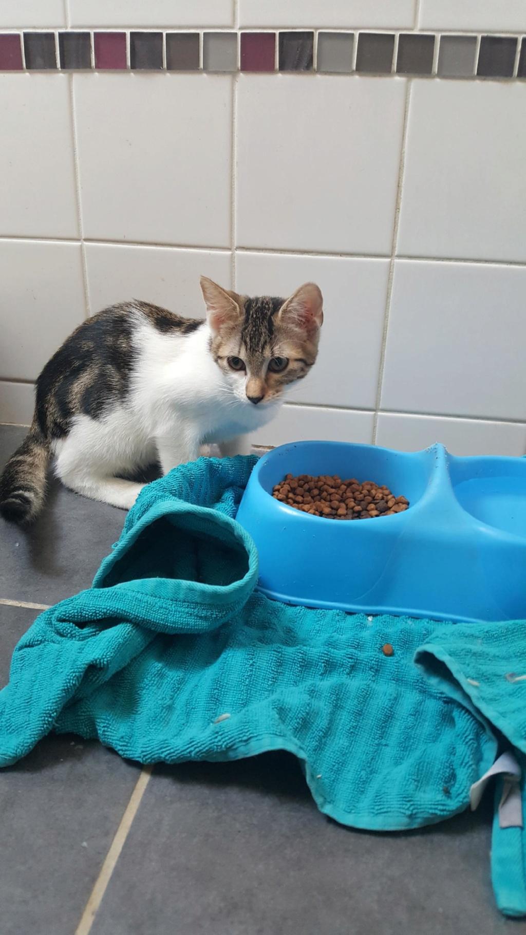 Paolo, chaton mâle de type européen, tricolore, né le 01/04/2019 Resize26