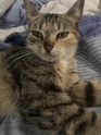 nesco - NESCO, chaton marron-tabby, né le 22/09/2017 57fb2e10