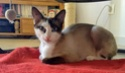 NIPPON, chaton mâle red point, né le 16/08/2017 Img_2217
