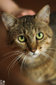 Javelot, chat mâle brown tabby de 2017 Img_4612