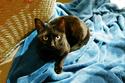Jacinthe, Chaton femelle type européen, noire et blanche, née le 18/06/2014  La_pos10