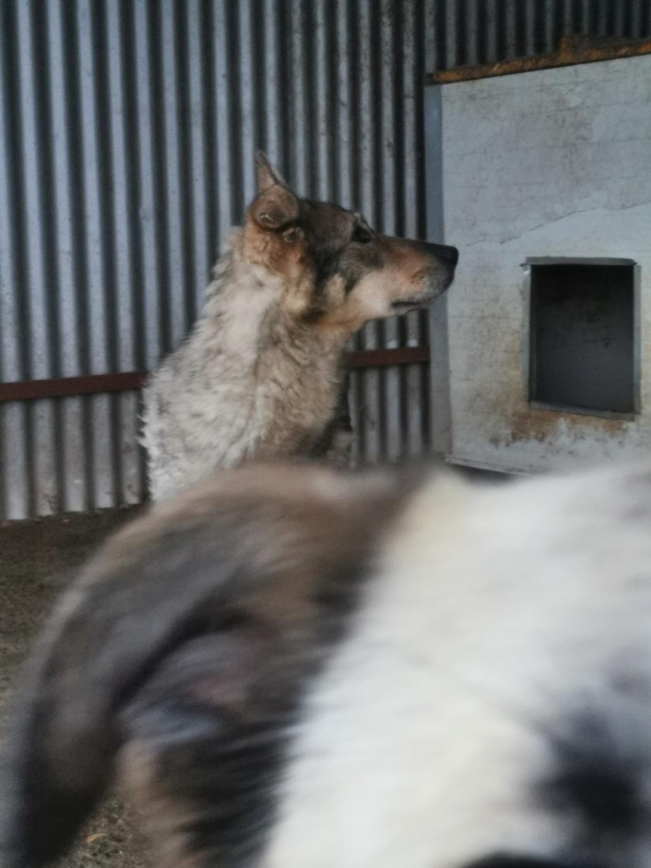 LUPI - femelle , née environ en 2010, typée chien loup de sarloos, taille moyenne - REMEMBER ME LAND - Page 3 Img_2153
