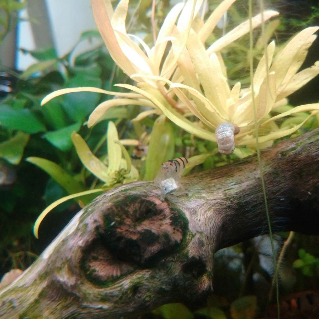"Guide sur les crevettes Racoon (caridina sp ""racoon tiger"") Img_2069"