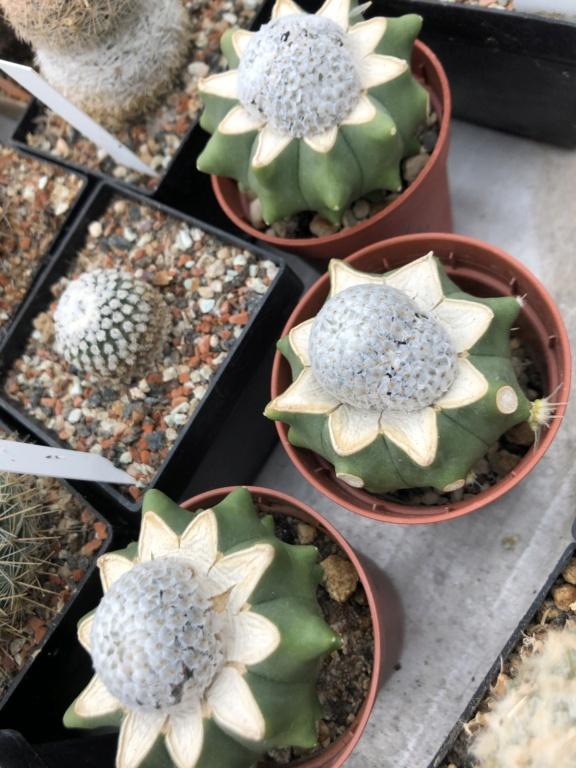 New species described - Mammillaria breviplumosa Ed3eda10