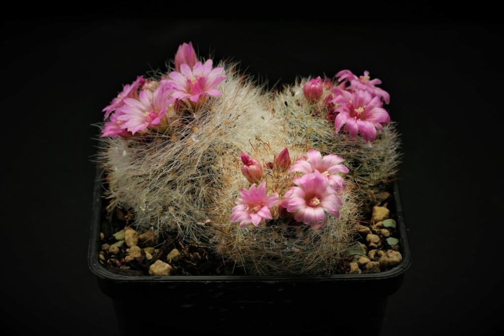 Mammillaria schwarzii fma. roseiflora? Img_6011