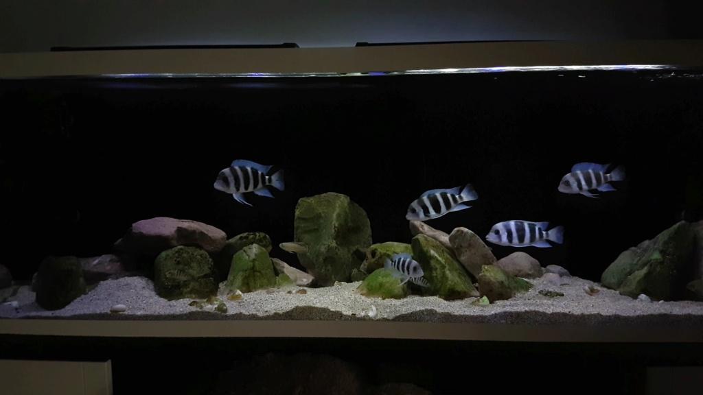 Mi acuario de Frontosas - Página 4 Videoc10