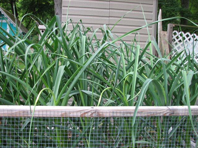 Garlic SFG Sat_ju11