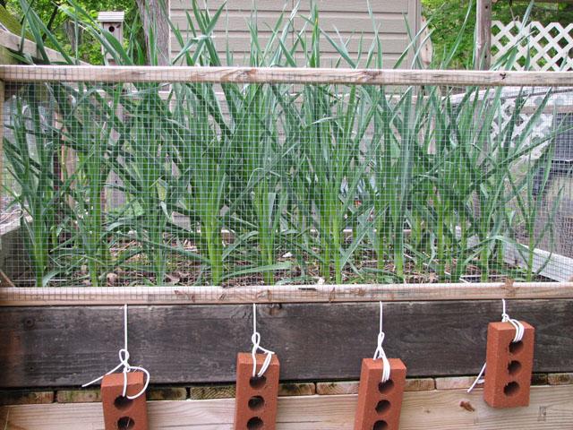 Garlic SFG Wed_0210
