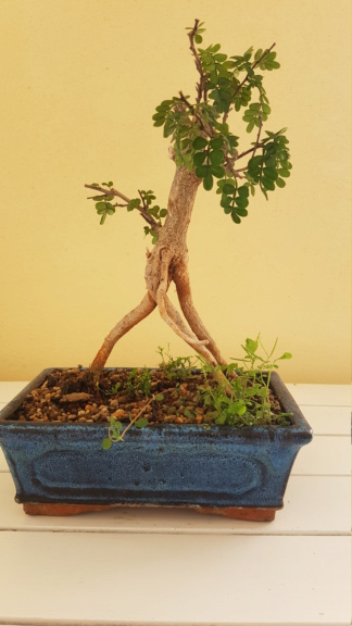 Aiuto per bonsai Pepe Pepe111