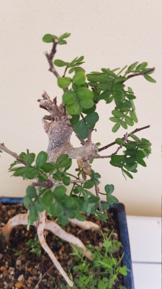 Aiuto per bonsai Pepe Pepe211