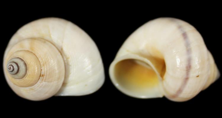 Tropidophora microchasma (Pfeiffer, 1856) Tropid10