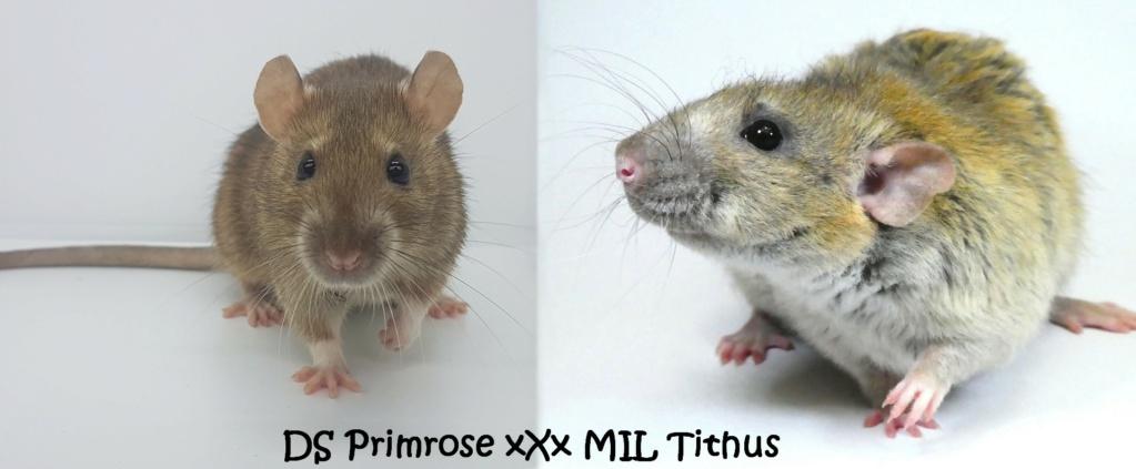 Portée 1 - DS Primrose xXx MIL Tithus Prim-t11