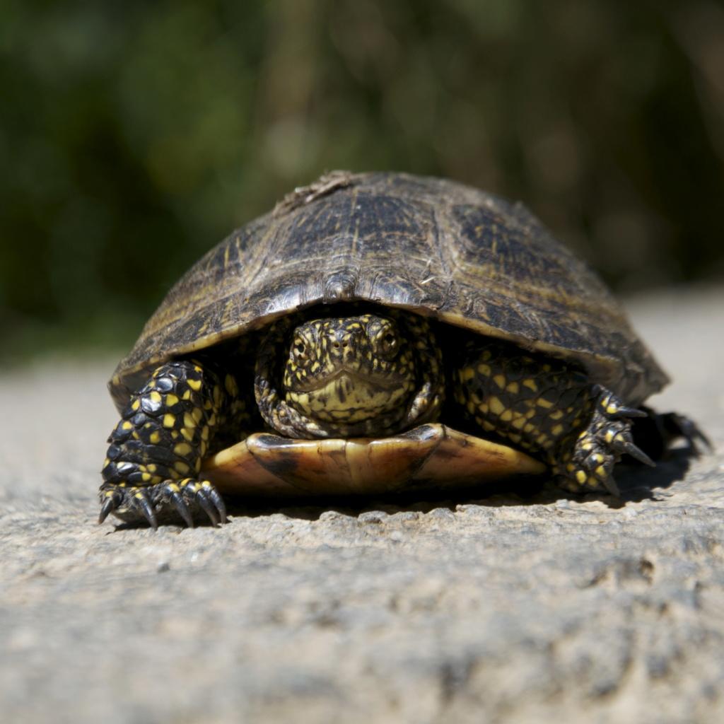 Observation d'une tortue palustre (cistude d'Europe?) _dsc0610