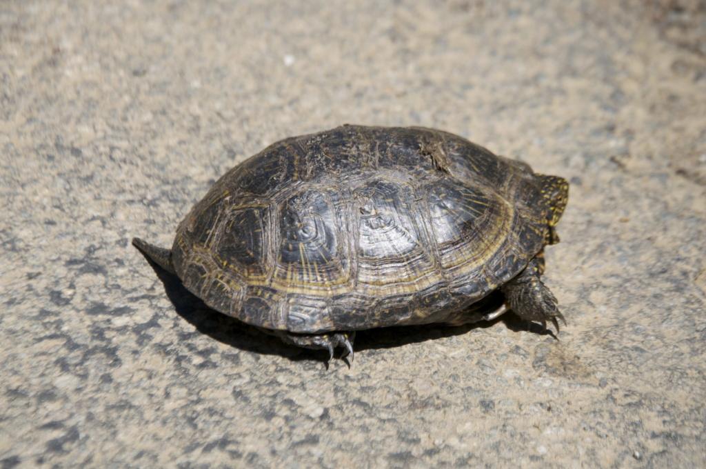 Observation d'une tortue palustre (cistude d'Europe?) _dsc0611