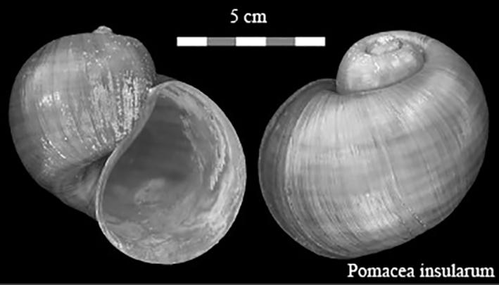 Pomacea insularum (d'Orbigny 1835) 00000112