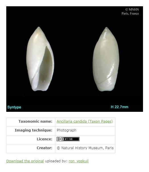 Olividae Oliva - Discussion sur le genre 0000311