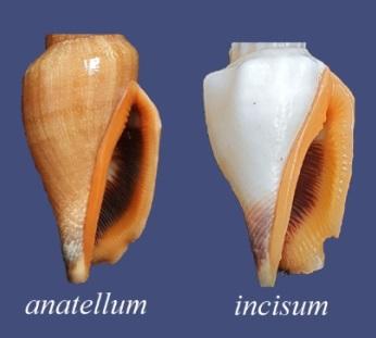Canarium anatellum - (Duclos, 1844) 0120