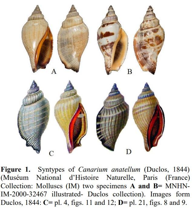 Canarium anatellum - (Duclos, 1844) 0214