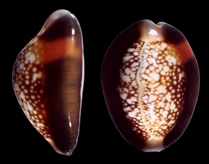 Monetaria caputserpentis f. aruni - (Lorenz, 2017) 116a10