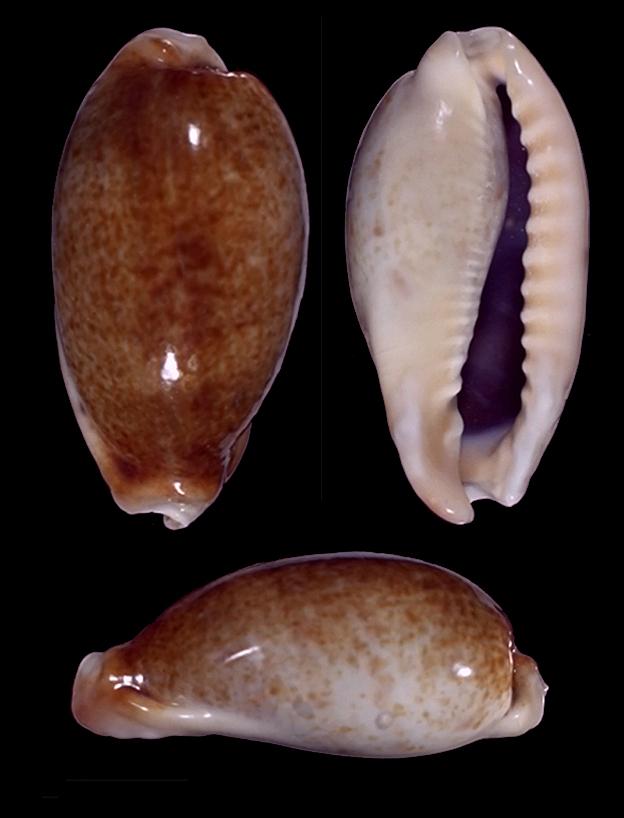 Erronea caurica elongata - (Perry, 1811) - Page 2 13410