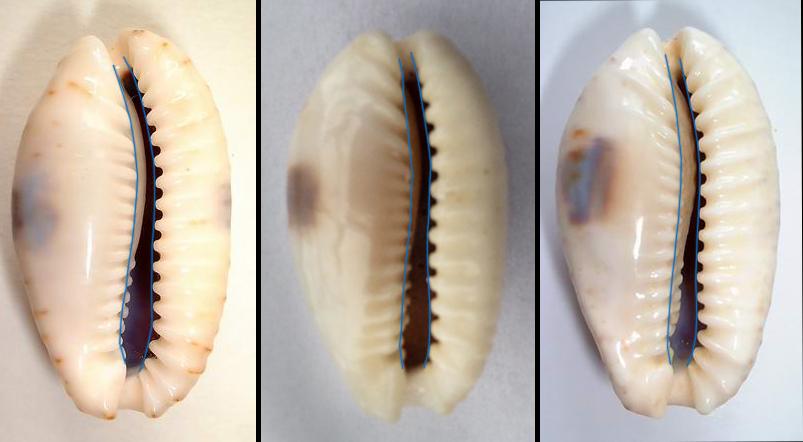 Naria erosa (Linnaeus, 1758) 2erosa12