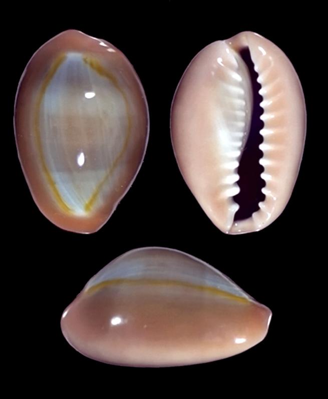 Monetaria annulus meli (Bozzetti, 2018) ou annulus f. circumpicta (Lorenz, 2017) 3911