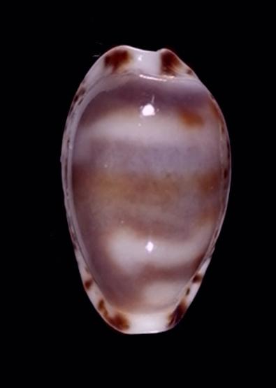 Bistolida owenii var. menkeana (Deshayes, 1863) 551x10