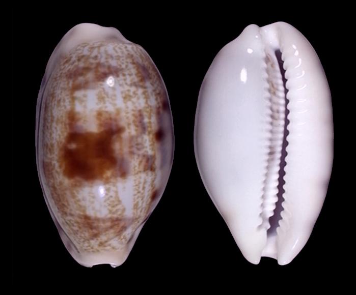 Talostolida pellucens pellucens (Melvill, 1888) vs f. alisonae (Burgess, 1983) 567xa10