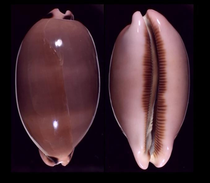 Luria pulchra (Gray, 1824) 594b10