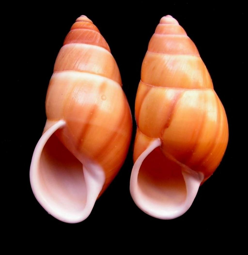 Amphidromus chloris (Reeve, 1848) Amphcl10